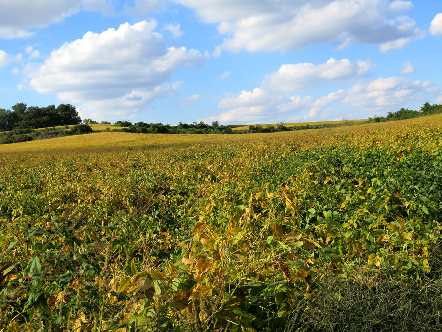 Sun and Soybeans in Weston