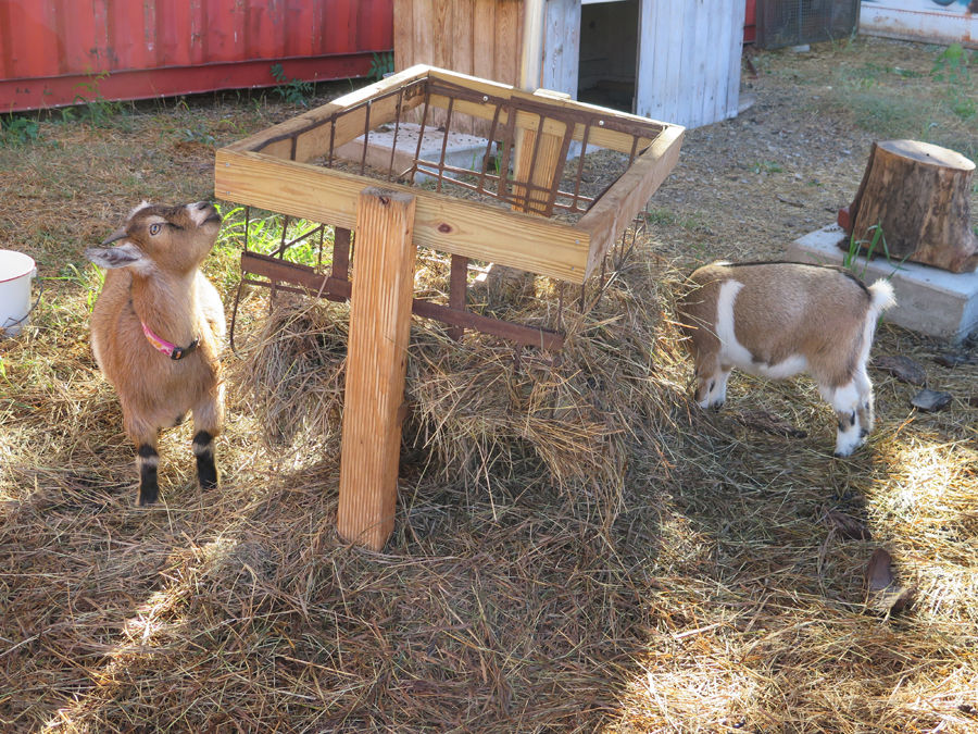 Baby goats 2